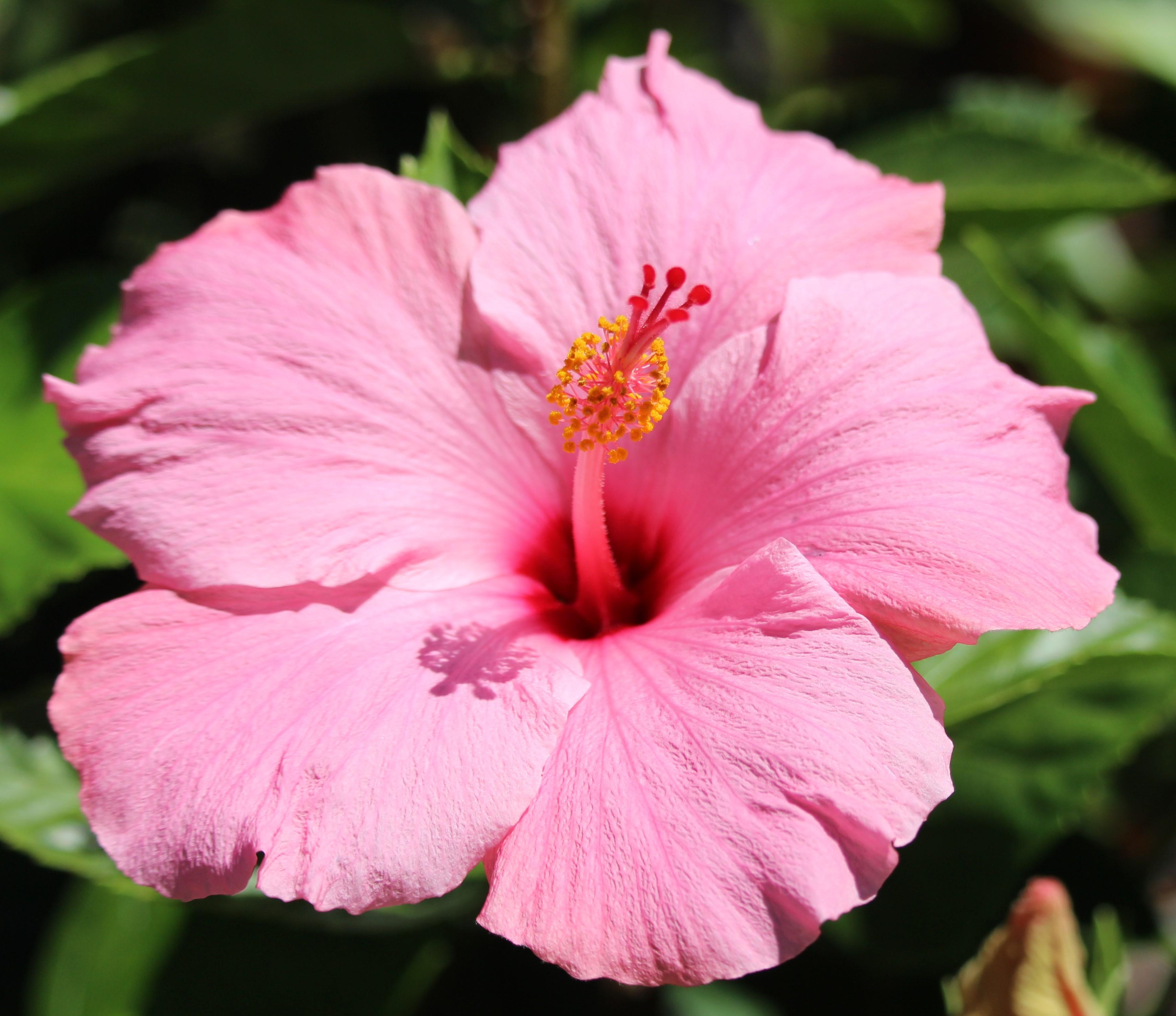 sdzoo.hibiscus.lightpink2