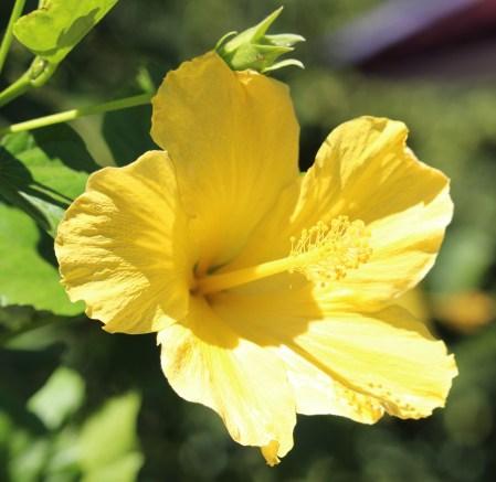 sdzoo.hibiscus.yellow1