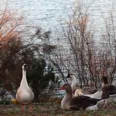 Geese! Miramar Reservoir. Photo by SJF Communications