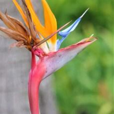 birdofparadise.IMG_1617