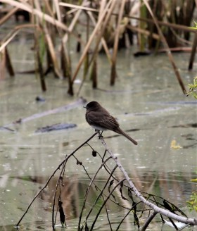 Black Phoebe - Photo by SJF Communications