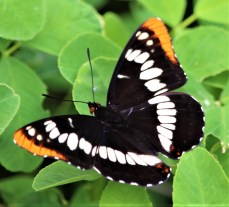 Adeplha Californica Butterfly Photo by SJF Communications