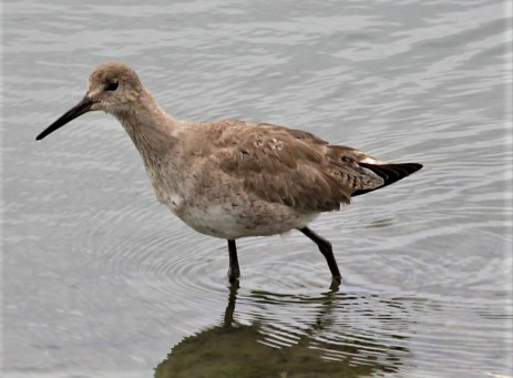 Willet - Photo by SJF Communications