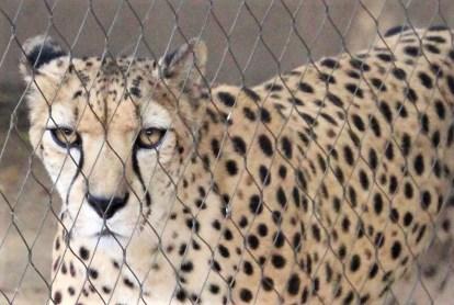 Jaguar; Photo by SJF Communications