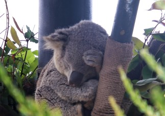 Koala Bear; Photo by SJF Communications