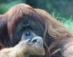 Orangutan; Photo by SJF Communications
