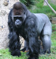 Gorilla; Orangutan; Photo by SJF Communications