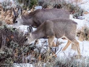 Mule deer feeding in southeast Utah.