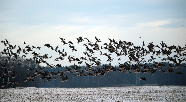 wild-geese-1150134_1280