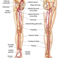 Vascular Anatomy Diagram Lower Herbivore Carnivore Omnivore Venn Resident Clinical Pearl Arterial Bleeding Department Of Emergency Https Anatomyclass01 Us Blood Vessels Limb Arteries In The Leg Human Lesson