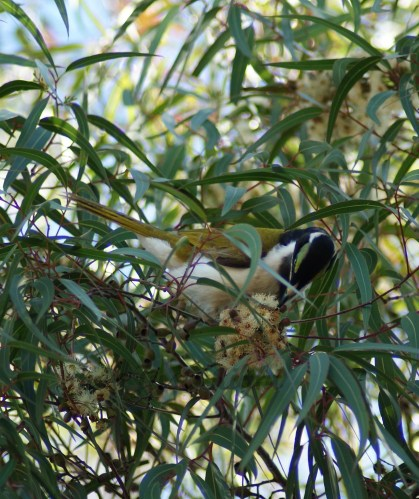 Juvenile Blue Faced Honey eater