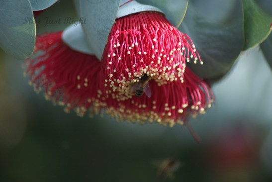 Eucalyptus rhodantha - Rose Mallee with bee