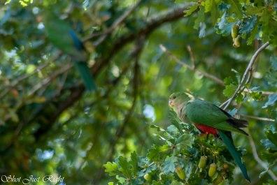 King Parrots at Taggerty