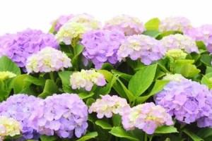 なばなの里あじさい花まつり2017の開花や見頃は?日程は?