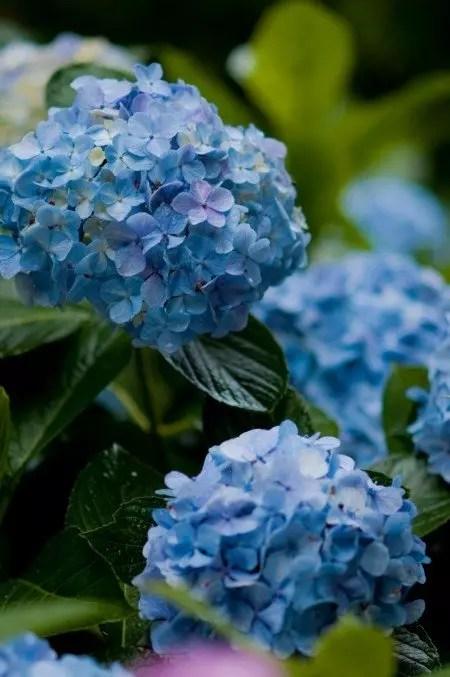 鎌倉明月院あじさい2017の開花や見頃と見どころや穴場は?
