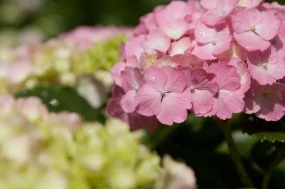 鎌倉あじさい2018の開花や見頃と名所や穴場スポット!