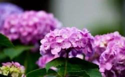 ハウステンボスあじさい祭り2018の開花や日程は?見どころやお得情報は?