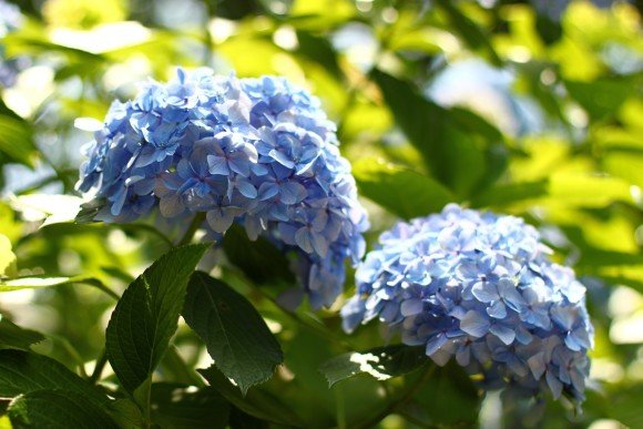 小田原城あじさい花菖蒲まつり2017の開花や日程、駐車場や見どころは?