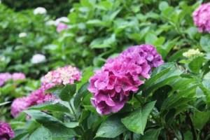 三室戸寺あじさい2016の開花や見頃!ライトアップやハートのあじさいは?