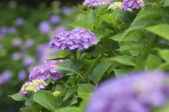 白山神社あじさい祭り2018の日程と場所、開花や見頃は?