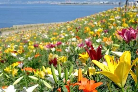 大阪舞洲ゆり園2017の開花状況や日程は?駐車場やアクセスは?