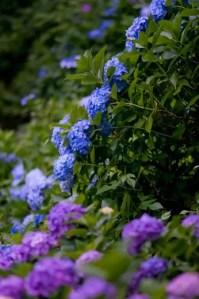 神戸市立森林植物園あじさい2017の開花や見頃とアクセス方法は?