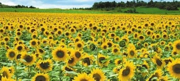 愛知近郊のひまわり畑の名所と見頃の時期はいつ?