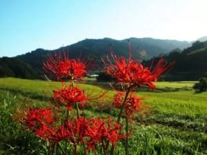 彼岸花の花言葉や咲く時期は?色々な呼び方がある!