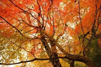 大覚寺の紅葉2016のライトアップや見ごろ時期は?紅葉スポットはココ!