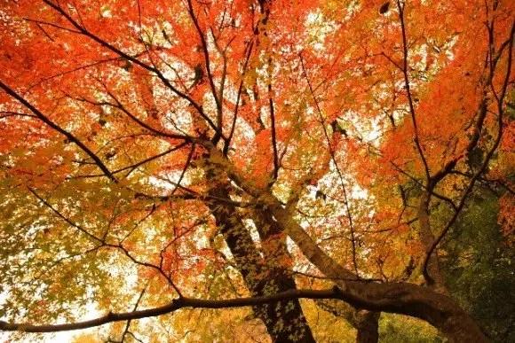 大覚寺の紅葉2017のライトアップや見ごろ時期は?紅葉スポットはココ!