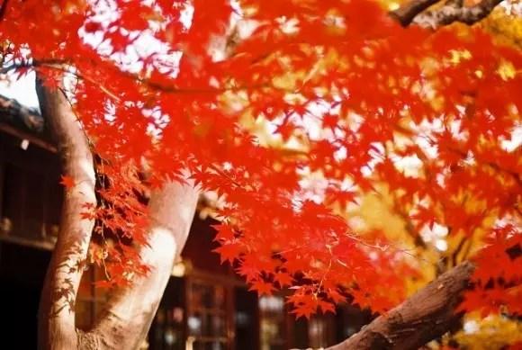 京都三千院の紅葉2017見ごろ時期とライトアップはいつ?