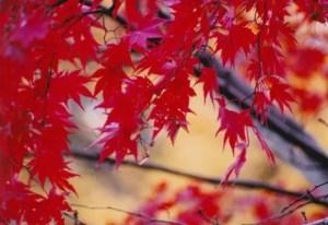 宝厳院の紅葉2017の見ごろ時期やライトアップは?