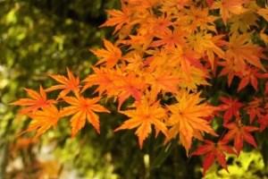 下鴨神社の紅葉2016の見頃時期と紅葉狩りスポットはココ!