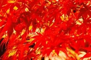 香嵐渓の紅葉2017のライトアップや見頃時期と紅葉狩りはココ!