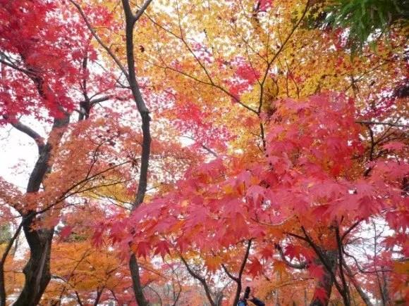 長瀞の紅葉2016のライトアップや見頃時期と紅葉狩りスポットはココ!
