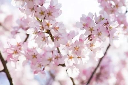 桜のイラスト無料【画像・素材・背景】おすすめ10選!