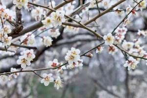 賀名生梅林の梅の見頃や開花状況2018と駐車場は?