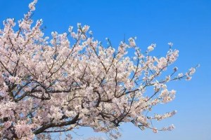 芦野公園の桜(金木桜まつり)2018の開花予想と見頃時期!