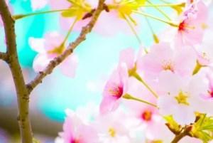 万博記念公園の桜祭りや夜桜2018の開花状況と見頃時期!