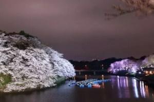 千鳥ケ淵公園の桜やお花見2017の見頃や開花状況!