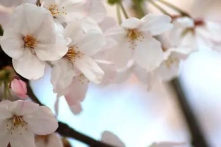 醍醐桜2019の開花情報や見頃と駐車場やアクセス方法!