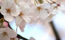 醍醐桜2018の開花情報や見頃と駐車場やアクセス方法!