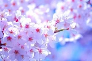 烏帽子山千本桜2017開花状況と見頃時期!