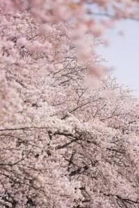 船岡城址公園の桜(桜祭り)2017の開花状況と見頃時期!