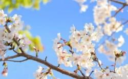臥竜公園の桜(桜祭り)2018の開花と見頃やライトアップ!