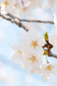 彦根城桜まつり2018桜の開花情報とライトアップ!