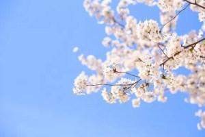 姫路城の桜・お花見2018の開花情報や見頃時期!