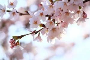 桧木内川堤の桜並木(ソメイヨシノ)2017の開花状況と見頃時期!