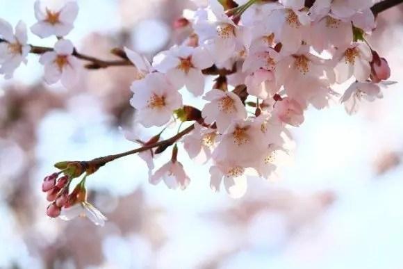 桧木内川堤の桜並木(ソメイヨシノ)2016の開花状況と見頃時期!