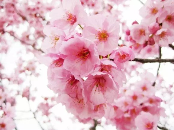 大阪造幣局の桜の通り抜け2016の見頃や開花状況!